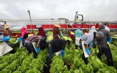 Robots sustituyen la falta de trabajadores agrícolas en California.
