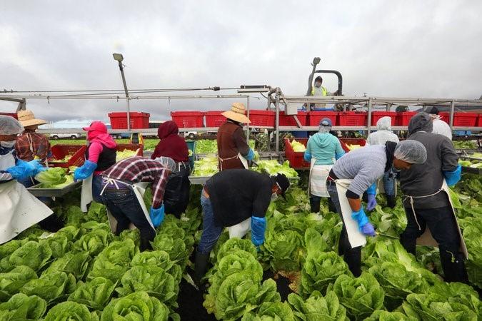 Brasil+picking+iceberg+lettuce+on+farms.