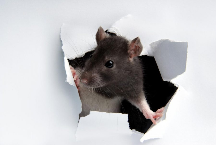 Rodent+droppings+have+been+found+in+the+Biology+building+basement+at+Cal+State+LA.+
