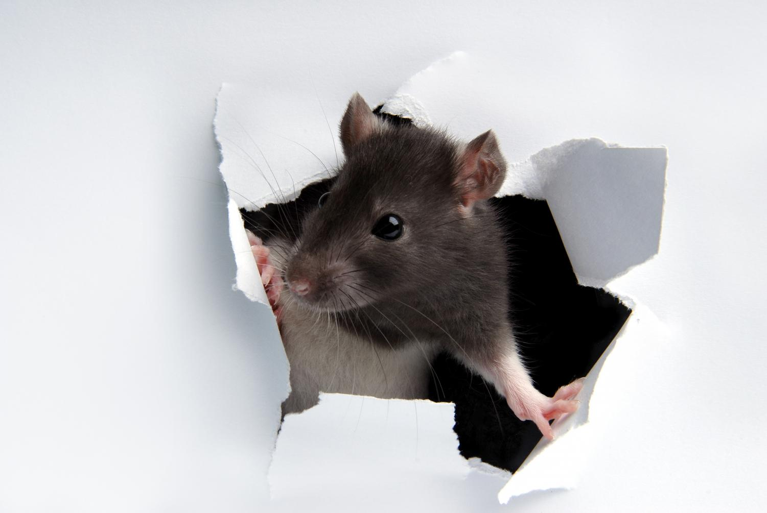 Rodent droppings have been found in the Biology building basement at Cal State LA.