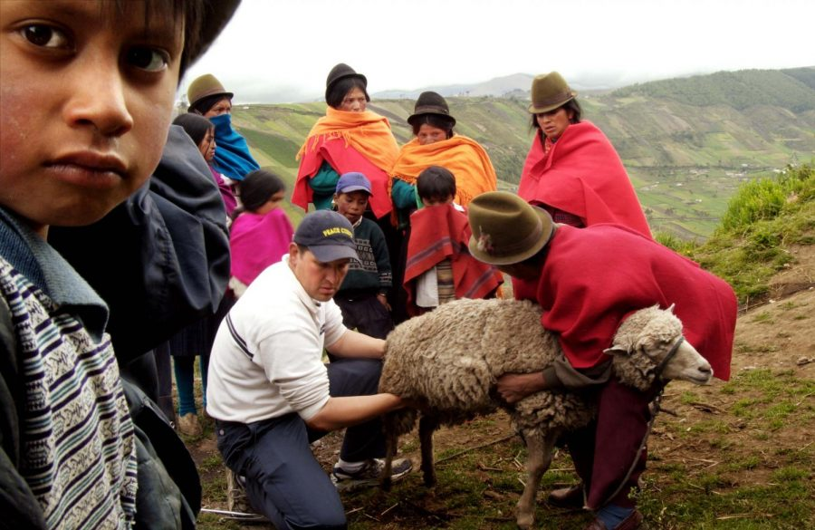 People providing medical attention to sheep.