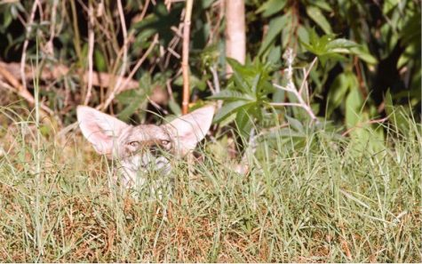 Coyote in grass, courtesy of Dr. Niamh Quinn
